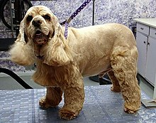 A yellow colored dog turns sightly towards the camera while standing on a table at a grooming salon.