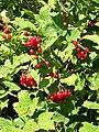 Guelder rose (Viburmum spulus), Tisbury - geograph.org.uk - 1494027.jpg