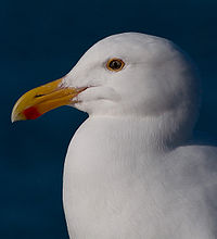 Gull 4908.jpg