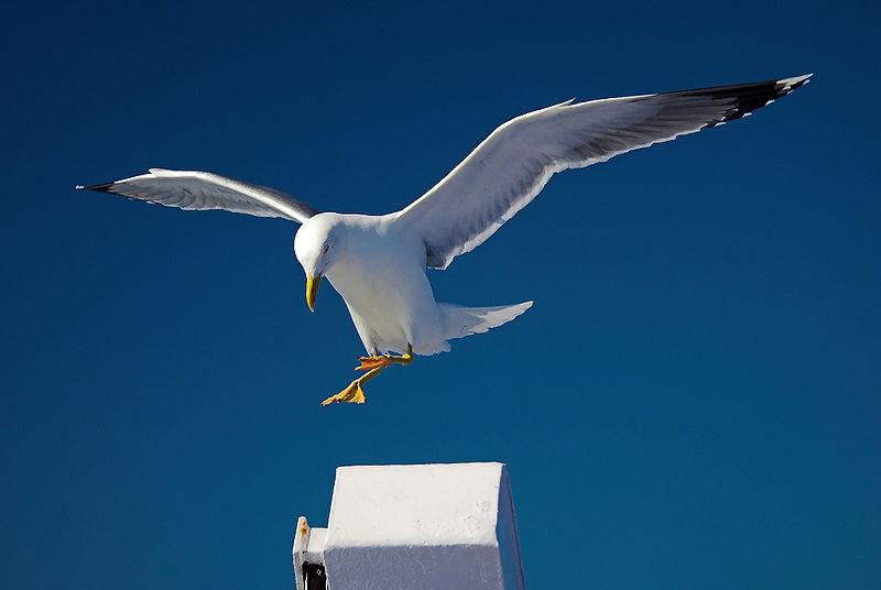 File:Gull landing.jpg