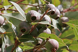 Corymbia - Image: Gumnuts 02