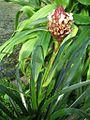 Guzmania farciminiformis (TS) 2-04895.jpg