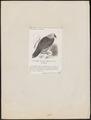 Gypaëtus barbatus - 1872 - Print - Iconographia Zoologica - Special Collections University of Amsterdam - UBA01 IZ18100003.tif