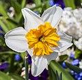 Híbrida de Narcissus 'Barrett Browning', Jardín Botánico de Múnich, Alemania, 2013-05-04, DD 01.jpg