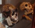 H.ergaster & H.georgicus skulls.png