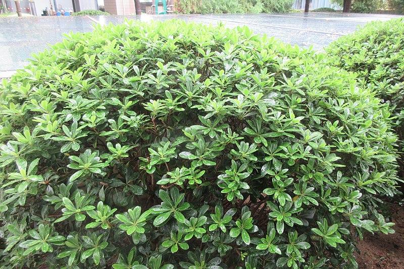File:HK 元朗 Yuen Long 新時代中城 Yoho Midtown residential building terreace green plants leaves August 2018 IX2 09.jpg