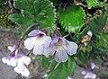 Haberlea ferdinandi-coburgii -比利時 Ghent University Botanical Garden, Belgium- (9200882218).jpg
