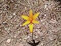 Habranthus tubispathus var. tubispathus - Pikillaqta, Pérou.jpg
