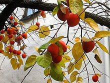 Hachiya persimmons on tree close-up.jpg