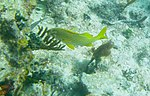 Haemulon flavolineatum - French grunt - Bay of Pigs - Cuba.jpg