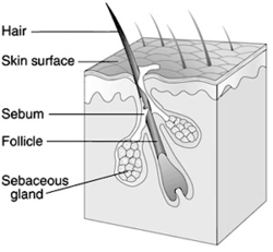 Sebaceous gland Simple English Wikipedia the free