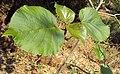 Haldina cordifolia 02.JPG