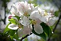 Halifax NS-00373 - Apple Blossom (27297265296).jpg