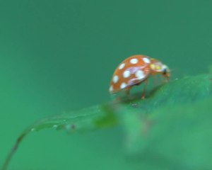 File:Halyzia sedecimguttata - 2012-07-24.ogv