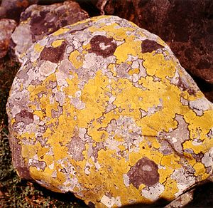 Hardangervidda - Map lichen on a rock of the Hardangervidda