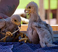 Harris Hawk Chicks (7690427226).jpg