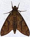 Hawkmoth (Amphonyx lucifer) (38552308212).jpg