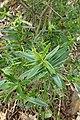 Hebe speciosa × glaucophylla kz1.jpg