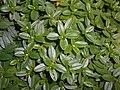Helianthemum nummularium subsp. tomentosum 2017-09-26 4901.jpg