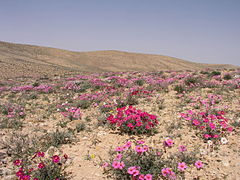 Helianthemum vesicarium in bloom - Lotz Cisterns, 2007.jpg