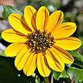 Helianthus debilis (Beach Sunflower) (6624028715).jpg