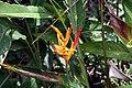 Heliconia psittacorum 20zz.jpg