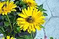 Heliopsis helianthoides var. scabra Summer Sun 3zz.jpg