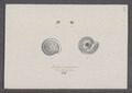 Helix cristallina - - Print - Iconographia Zoologica - Special Collections University of Amsterdam - UBAINV0274 089 01 0055.tif