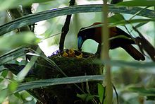 An orange and black bird with a bright blue beak places food in the open mouth of one of the three chicks in her nest.