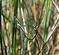 Hemiphlebia mirabilis LongSwamp091113-5940.jpg