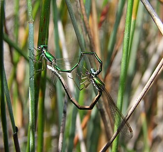 Discovery Bay Coastal Park - Ancient Greenling (damselfly)