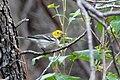 Hermit Warbler (immature male) Huachuca Canyon Sierra Vista AZ 2018-08-25 10-27-51 (48038303488).jpg