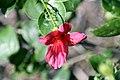 Hibiscus boryanus 1zz.jpg