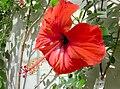 Hibiscus x archeri (Malvaceae) flower.jpg