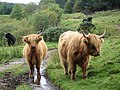 Highland Cows - geograph.org.uk - 567883.jpg
