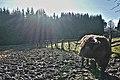 Highland cattle in Fagne Tirifaye, Waimes, Belgium (VeloTour intersection 80, DSCF3643).jpg
