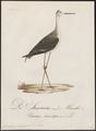 Himantopus autumnalis - 1800-1812 - Print - Iconographia Zoologica - Special Collections University of Amsterdam - UBA01 IZ17400183.tif