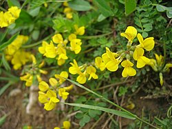 meaning of hippocrepis