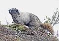 Hoary Marmot, Mt. Rainier 01.jpg