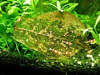 Haltung von s wassergarnelen das aquarium for Welche teichfische fressen algen