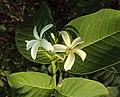 Holarrhena pubescens 06.JPG