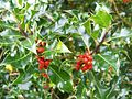 Holly berries, Churchyard, St Andrews Church - geograph.org.uk - 1014242.jpg