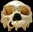 This cranium, of Homo heidelbergensis, a Lower Paleolithic predecessor to Homo neanderthalensis and possibly Homo sapiens, dates to sometime between 500,000 to 400,000 BC.