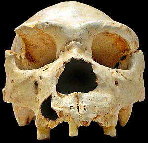 Paleolithic - This skull, of Homo heidelbergensis, a Lower Paleolithic predecessor to Homo neanderthalensis and possibly Homo sapiens, dates to sometime between 500,000 and 400,000 BP.