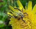 Hoplia argentea. Scarabaeidae - Flickr - gailhampshire (1).jpg
