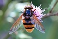 Hornissenschwebfliege Volucella zonaria male 3356.jpg
