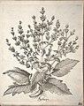 Hortus Eystettensis, 1640 (BHL 45339 258) - Classis Aestiva 106.jpg
