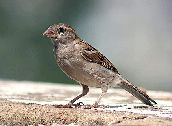 House sparrow I IMG 4529