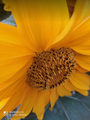 How the sunflower looks like insects.png