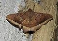 Hulodes caranea by Dr. Raju Kasambe DSCN0537 (5).jpg